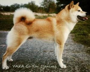 VAKA_Go_You_Djenima_shiba-300x239-2
