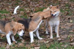 Shiba i  nasze beagle :)