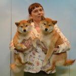 shiba wystawa psów