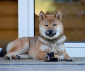 Nowy pies w Łaciatej Sforze